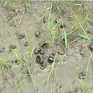 Hàng trăm ha lúa tại Bình Phước bị thiệt hại do ốc bươu vàng