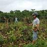 Điều tra vụ thuê người chặt phá 445 cây cà phê tại Đăk Lăk