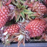 """""""Phát sốt"""" với những trái dứa màu hồng mới xuất hiện"""