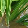 Cách phòng trừ rầy nâu hại lúa