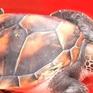 Ngư dân tự nguyện thả rùa lớn về biển