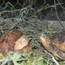Phát hiện vụ mua bán, tàng trữ 2 cá thể rùa tại Bà Rịa - Vũng Tàu