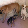 Tiêu hủy chó sau 72h nếu chủ không đến nhận: Cần có những biện pháp nhân đạo hơn