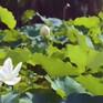 Chiêm ngưỡng vẻ đẹp hồ sen ở Hà Nam (Trung Quốc)
