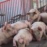 Bộ NN&PTNT bàn đầu ra cho đàn lợn ùn ứ tại Đồng Nai