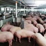 Thí điểm xây dựng 2 vùng an toàn dịch bệnh hướng đến xuất khẩu thịt lợn