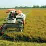 Giá lúa tăng nông dân thu lãi gần 20 triệu đồng 1ha