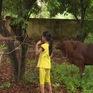Trao tặng bò sinh sản cho hộ gia đình chính sách tại Vĩnh Phúc