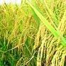 Báo động tình trạng rầy nâu trên lúa Hè Thu