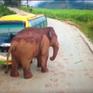 Trung Quốc: Voi tấn công hàng loạt xe trên đường