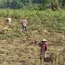Phú Yên: Nông dân trồng sắn thất thu nặng