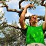 Croatia: Hái 67kg olive trong… 4 phút