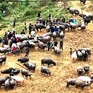 Nhức nhối nạn vượt biên buôn lậu gia súc tại Lào Cai