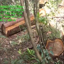 Phát hiện vụ triệt hạ 48 cây pơ mu tại Đăk Lăk