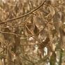 Sầu riêng chết khô vì triều cường, nhiều nhà vườn thiệt hại tiền tỉ