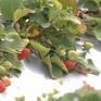 Nghi phạm nhét kim khâu vào dâu tây tại Australia không được tại ngoại