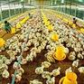 CPTPP – Thách thức của ngành chăn nuôi
