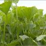 Xây dựng thương hiệu rau má Quảng Thọ với các sản phẩm chế biến đa dạng