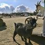 Bồ Đào Nha thuê dê gặm cỏ chống cháy rừng