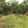 Nhiều vườn chôm chôm ở Vĩnh Long bị kẻ xấu phá hoại