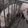 Dịch tả lợn châu Phi lan đến Thượng Hải (Trung Quốc)