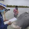 Chưa tìm ra nguyên nhân cá voi chết tại Indonesia