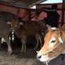 Các địa phương chủ động phòng chống rét cho vật nuôi