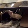Colombia hoãn phiên họp Quốc hội vì chuột
