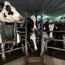 Ngành sữa Mỹ muốn tiếp cận thị trường Nhật Bản