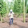 Lỗ hổng quản lý khiến nông dân trồng tiêu sạch thiệt thòi