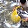 Người nuôi cá tra đợi diễn biến giá, xem xét việc thả nuôi lại