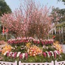 Lễ hội hoa anh đào Nhật Bản 2018: Trăm hoa khoe sắc trước giờ khai mạc