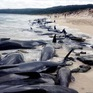 150 con cá voi mắc cạn ở Australia, chỉ 6 con còn sống sót