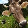 Bò có thể là loài động vật to lớn cuối cùng còn sống sót trên Trái đất