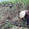 Mía Phú Yên rớt giá, tiêu thụ chậm
