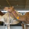 Độc đáo sữa cho trẻ sơ sinh làm từ sữa lạc đà