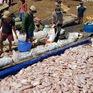 Khó khăn trong việc tìm kiếm nhân công vớt cá chết ở sông La Ngà