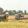 Giá lúa tại đồng bằng sông Cửu Long tăng cao
