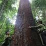 Báu vật rừng lim cổ thụ tại Tây Giang, Quảng Nam