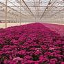 Hoa Hà Lan được trồng thế nào trong nhà kính?