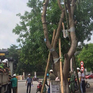 Hà Nội tiến hành xử lý cây bị bệnh, mục rỗng để đảm bảo an toàn mùa mưa bão