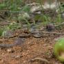 Hàng loạt hồng ăn quả tại Lâm Đồng chết bất thường