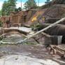 Đà Lạt: Cây rừng mục đổ đè bé gái tử vong