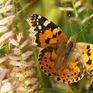 Loài bướm di cư 12.000 km mỗi năm