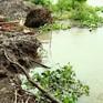 Đê bao ven sông Vũng Liêm liên tục sạt lở