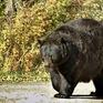 Gấu hoang phá cửa vào nhà dân, tấn công một cụ bà 71 tuổi