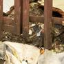 Ấn Độ triển khai chiến dịch diệt chuột chống bệnh truyền nhiễm