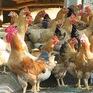 Ngành chăn nuôi gặp khó do gà nhập khẩu giá rẻ