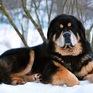 Chó ngao Tây Tạng: Loài vật nuôi đắt tiền, nổi tiếng trung thành nhưng cực kỳ nguy hiểm