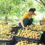 Xuất khẩu 2.000 tấn nhãn Sơn La sang Trung Quốc